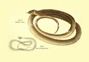 Gelbliche natter - Grass Snake, skelet der ringelnatter - skeleton of the grass snake